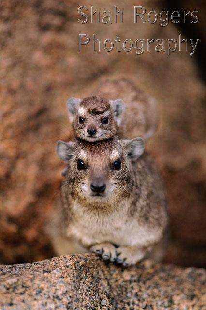 Baby rock hyrax quotes